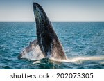 humpback whale breaching ... | Shutterstock . vector #202073305