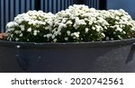 Big flower pot in garden...