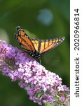 Small photo of A viceroy butterfly enjoying the flowers of summer.