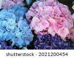 Rose and blue hydrangea. high...