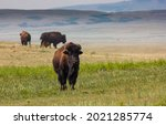 A buffalo standing tall on a prairie farm near Head Smashed in Buffalo Jump in Alberta Canada.