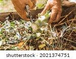 Male Hands Grind Cabbage Waste...