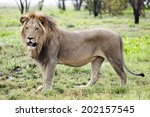Male Lion In The Wild  On Liuw...