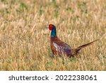 Male Common Pheasant Phasianus...
