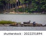 Harbor Seals Hauling On Rocks...