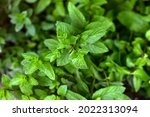 Spearmint  Garden Mint  Spear...