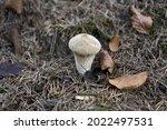 Lycoperdon Perlatum  Popularly...