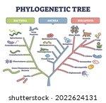 phylogenetic tree  phylogeny or ...   Shutterstock .eps vector #2022624131