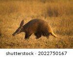 A Nocturnal Wild Aardvark ...