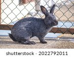 Silver Rabbit Breed Standing...