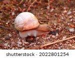 Snail walking on a stony road....