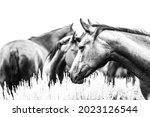 Montana American Quarter Horse...