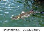 A Atlantic Tarpon Fish ...