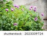 a pink poppy flower.  | Shutterstock . vector #2023339724