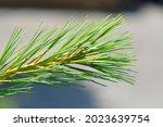 Eastern White Pine Blue Shag  ...