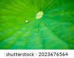 Close Up Lotus Leaves And...