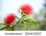 red head powder puff flower... | Shutterstock . vector #202423207