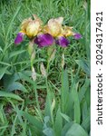 Three Beige And Purple Flowers...