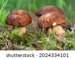 Mushroom Boletus Edilus....
