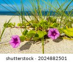 Small photo of Goat's Foot Morning Glory or Beach Morning Glory also known as Rainroad Vine or Bayhops on Nokomis Beach on the Gulf of Mexico in Nokomis Florida USA