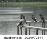 Drenched Pigeons Sit On A Metal ...