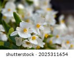 White Tender Begonia Close Up...
