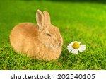 Orange Domestic Bunny Smelling...