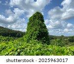 Kudzu meadow on a summer day