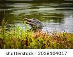 Alligator In Louisiana Catches...