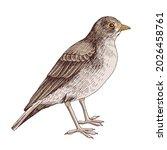 desert lark isolated on white...   Shutterstock .eps vector #2026458761