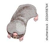 hand darawn greater mole rat.   Shutterstock .eps vector #2026458764