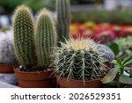 Cacti Echinocactus And...