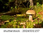 Porcini Cep In Forest During...