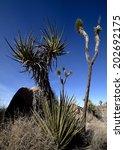 Daedric Yucca