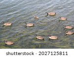 Small photo of A gaggle of geese and one duck friend feasting in the Bellingham Bay.