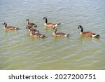 Grown Canadian Goslings Swim...