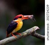 black backed kingfisher mother... | Shutterstock . vector #202724239