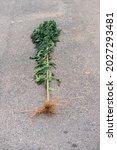 Uprooted Wild Plant With Thick...