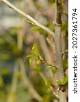 Lombardy Poplar Branch With New ...