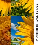Stylized Sunflower. Colors Of...