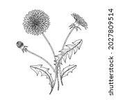hand drawn dandelion floral... | Shutterstock .eps vector #2027809514