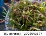 Sundew Carnivorous Plants ...