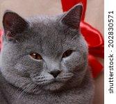 British Shorthair Cat Over Gif...