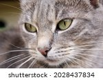 Grey Brown European Cat Closeup ...