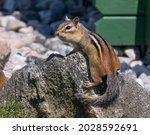 A Chipmunk On A Rock