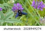 Closeup Of Black Carpenter Bee  ...