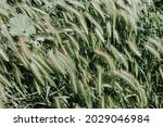 Green Grass Of A Cereal Crop...