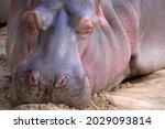 Hippopotamus Sleeping On The...