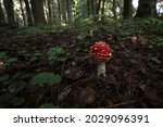 Amanita And A Mushroom With A...