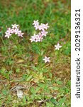 Small photo of Common Centaury - Centaurium erythraea, whole plant in disused Cotswold Quarry